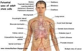 stem cells repair body