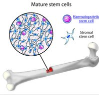 stem cells bone marrow