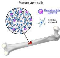 stem cells bone marrow